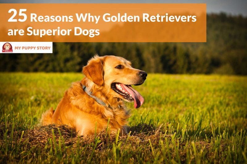 a narrative of my metamorphosis into a golden retriever dog Golden retriever lifespan: early examinations give insight the study, although initiated three years ago, has not given any clear results yet, mainly because the 3,000 dogs have been signed only early this year in march 2015.