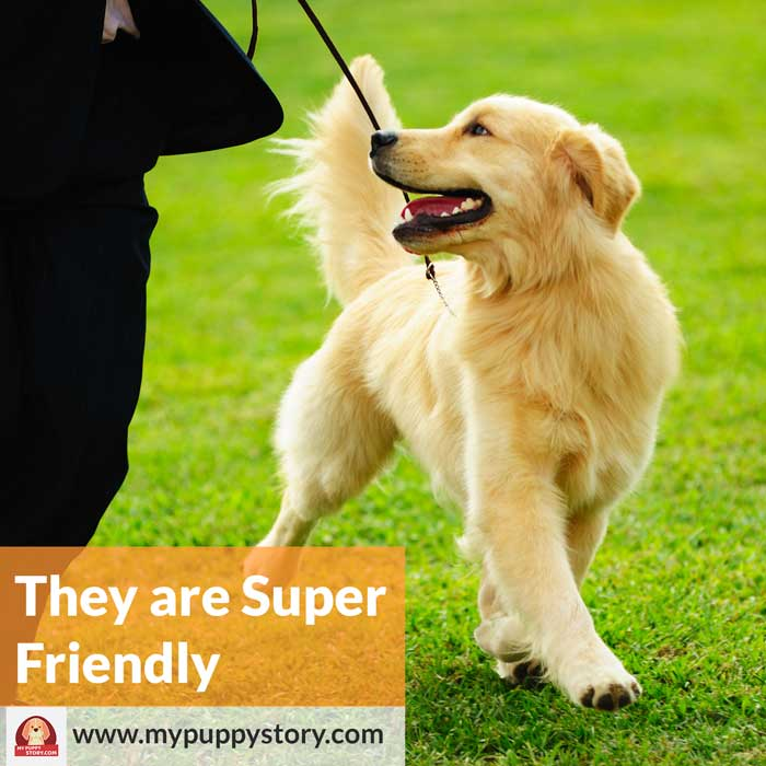 Golden retriever by mypuppystory.com