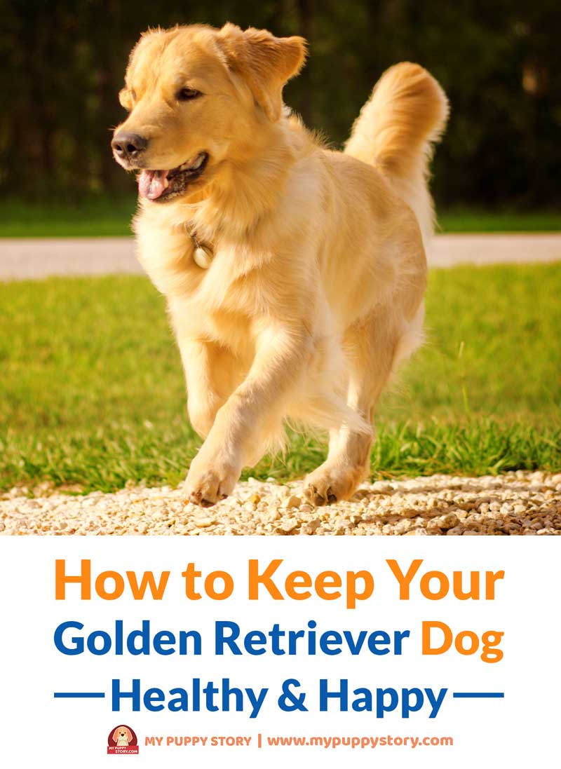 How To Keep Your Golden Retriever Dog Healthy Happy My Puppy Story