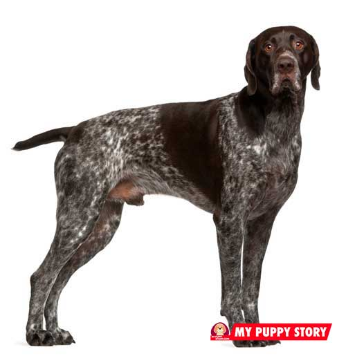 German-Shorthired-Pointer