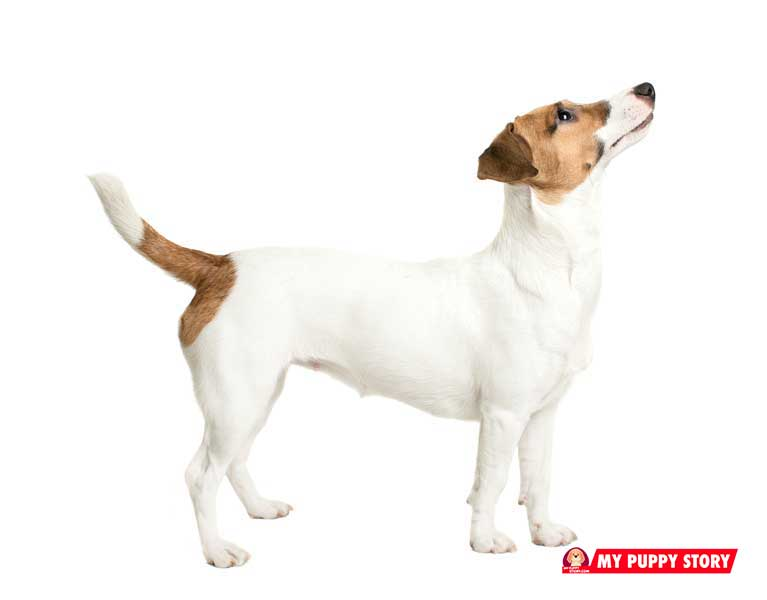 Jack-Russell-Terrier