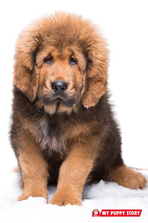 Tibetan-Mastiff-2