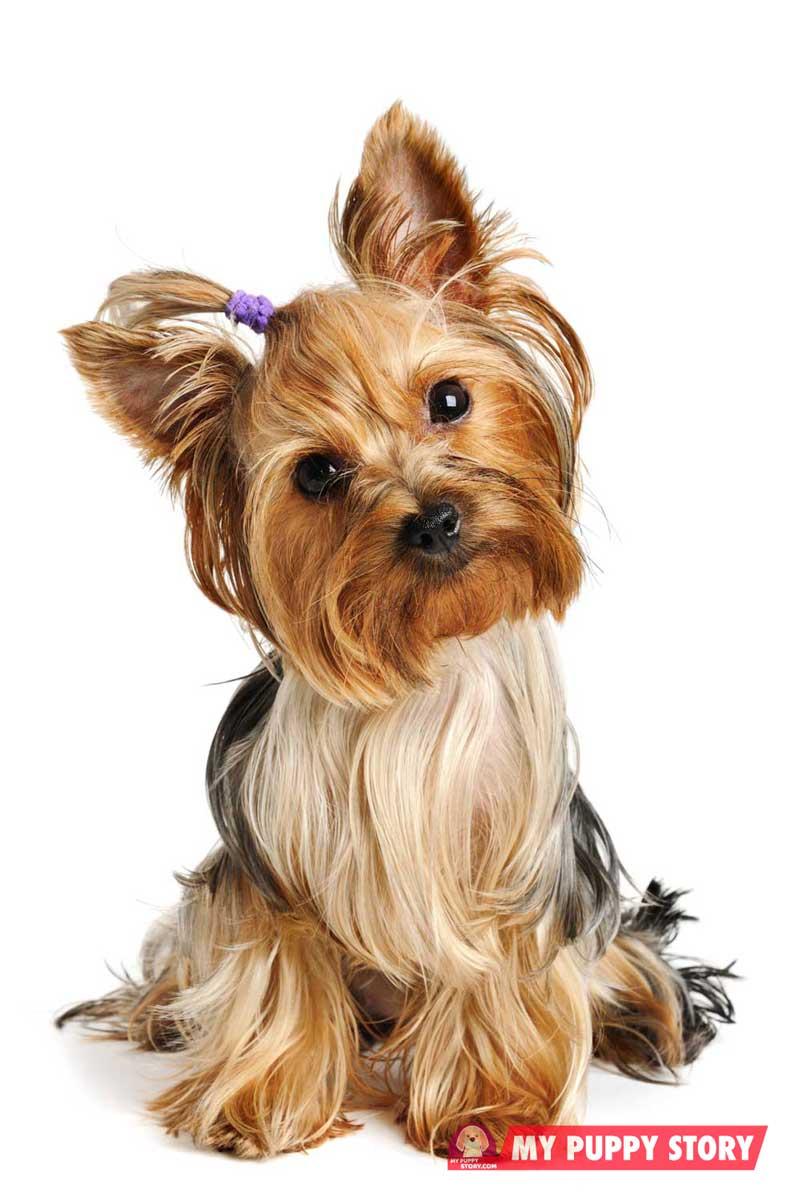 Yorkshire-terrier-
