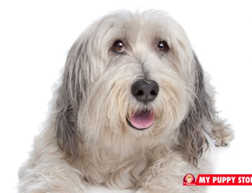 Old English Sheepdogs: Advice from a Sheepdog Owner