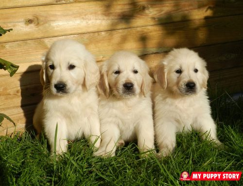 What to Consider When Adopting a Golden Retriever Puppy