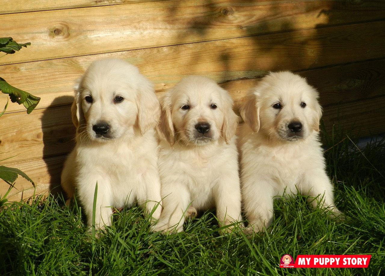 Adopting A Golden Retriever Puppy
