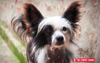 Chinese-Crested - mypuppystory.com