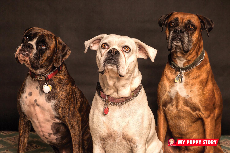 Boxer dog - mypuppystory.com